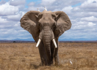 Yahoo! Bans the Sale of Elephant Ivory in Japan