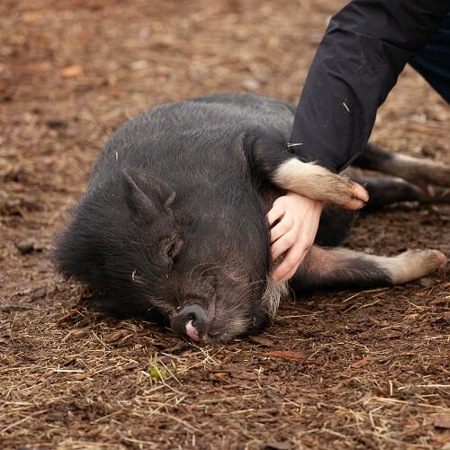 Sonoma County Fair Replaced Cruel Pig Wrangling Tradition With Slippery Watermelons