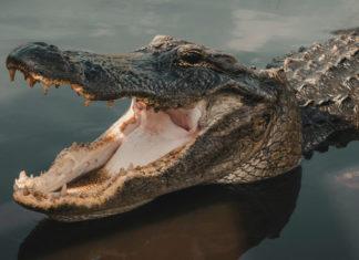 California Passes Historic Ban on Alligator Skin Sales