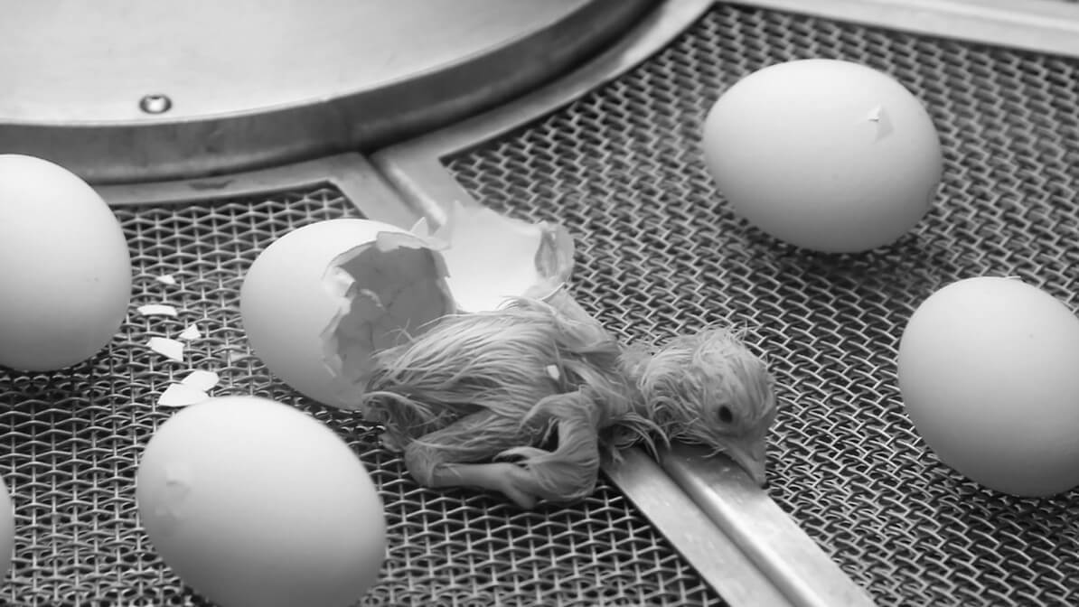Switzerland Just Banned the Egg Industry From Grinding Live Chicks