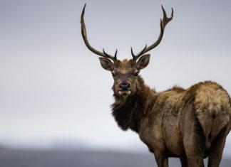 This Documentary Exposes How Big Dairy Is Threatening Wild Tule Elk Population