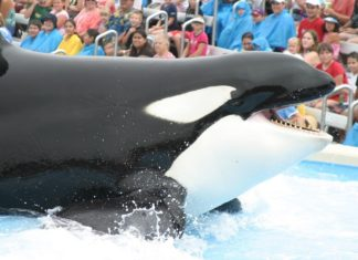 Shamu and SeaWorld's Legacy of Suffering
