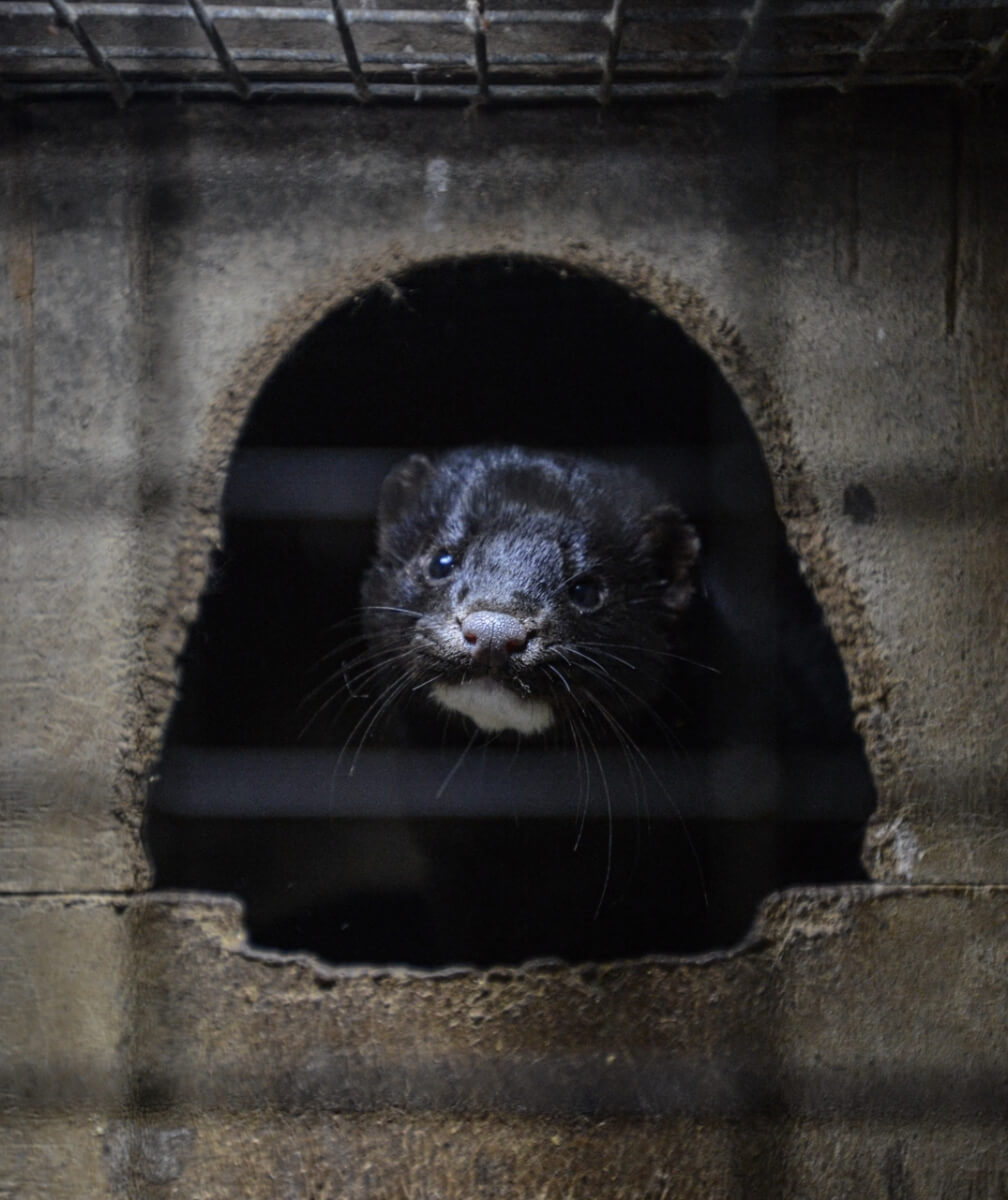 The fur industry in Nova Scotia kills thousands of minks.