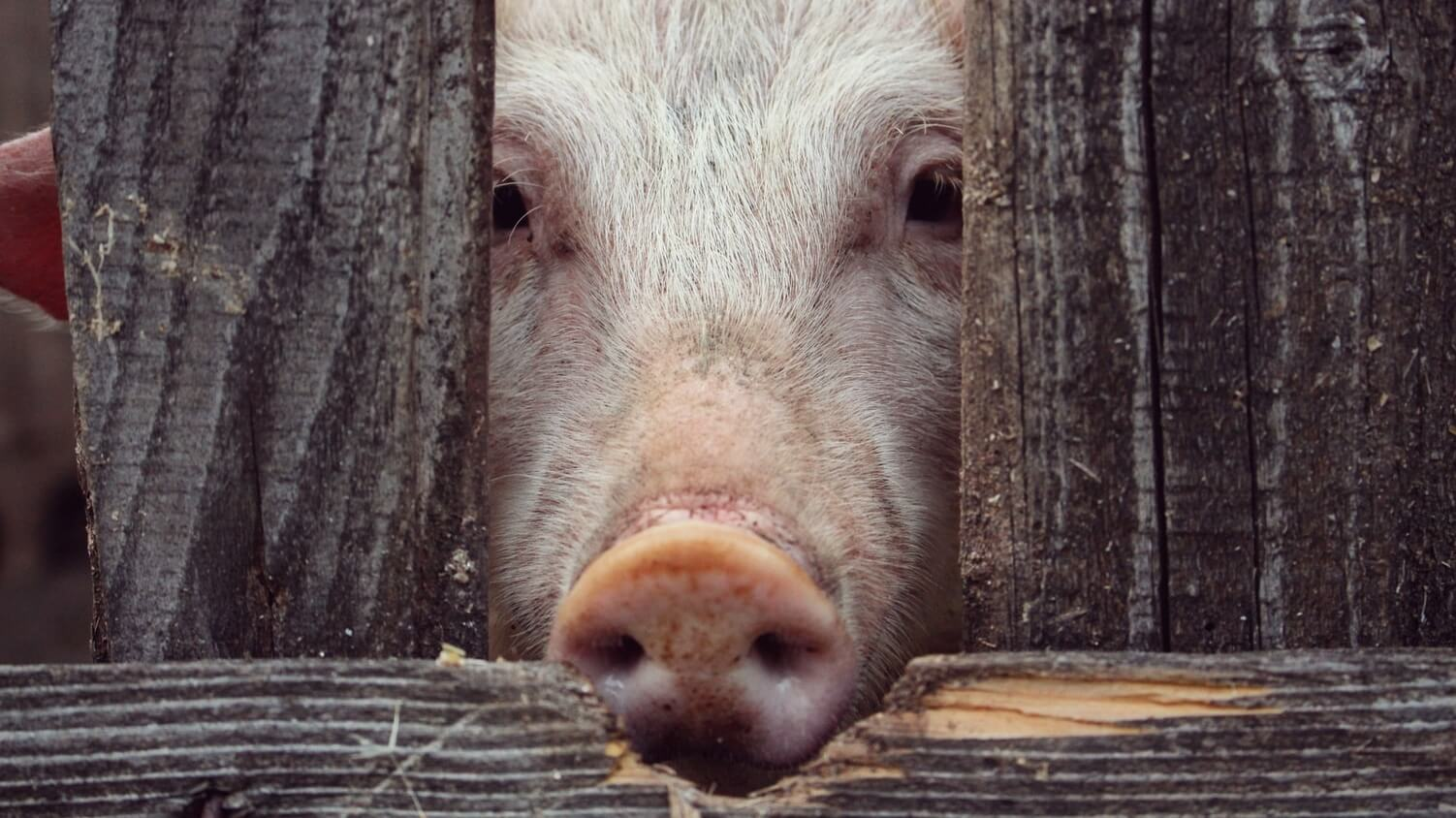 The Netherlands May Soon Tax Animal Slaughter