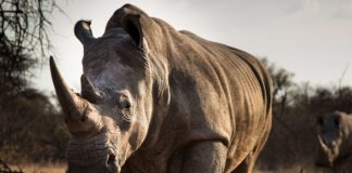 Fake Rhino Horns Could Bring an End to Poaching