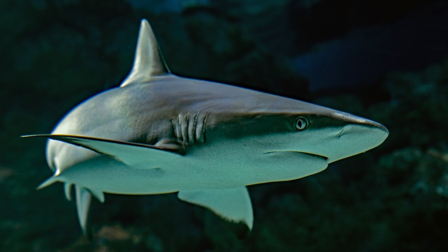 Sale and Trade of Shark Fin Now Banned in New Jersey