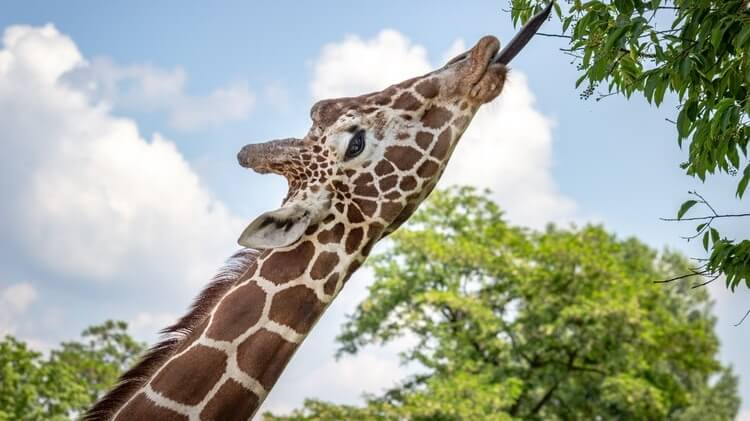 Buying Giraffe Body Parts Is a Thing and New York Just Banned It