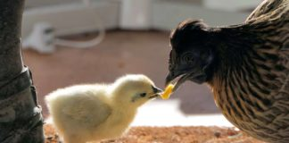 France Just Banned the Egg Industry From Shredding Male Chicks