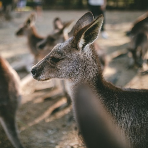 Carrefour Stops Selling Kangaroo Meat for the Environment