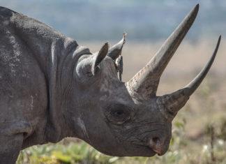 British Troop's Anti-Poaching Mission Saves 17 Endangered Black Rhinos