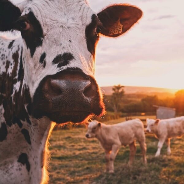 Meat and Dairy Linked to Worst Species Loss In History