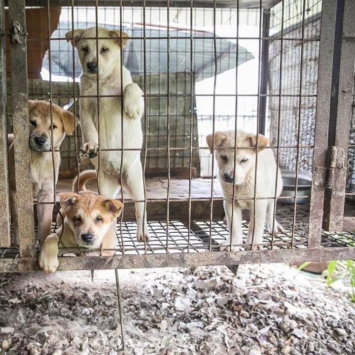 dog meat trade asia