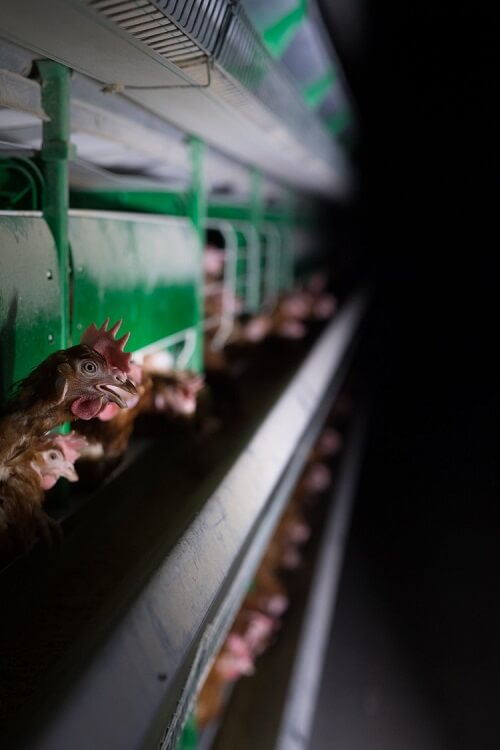 egg industry corruption