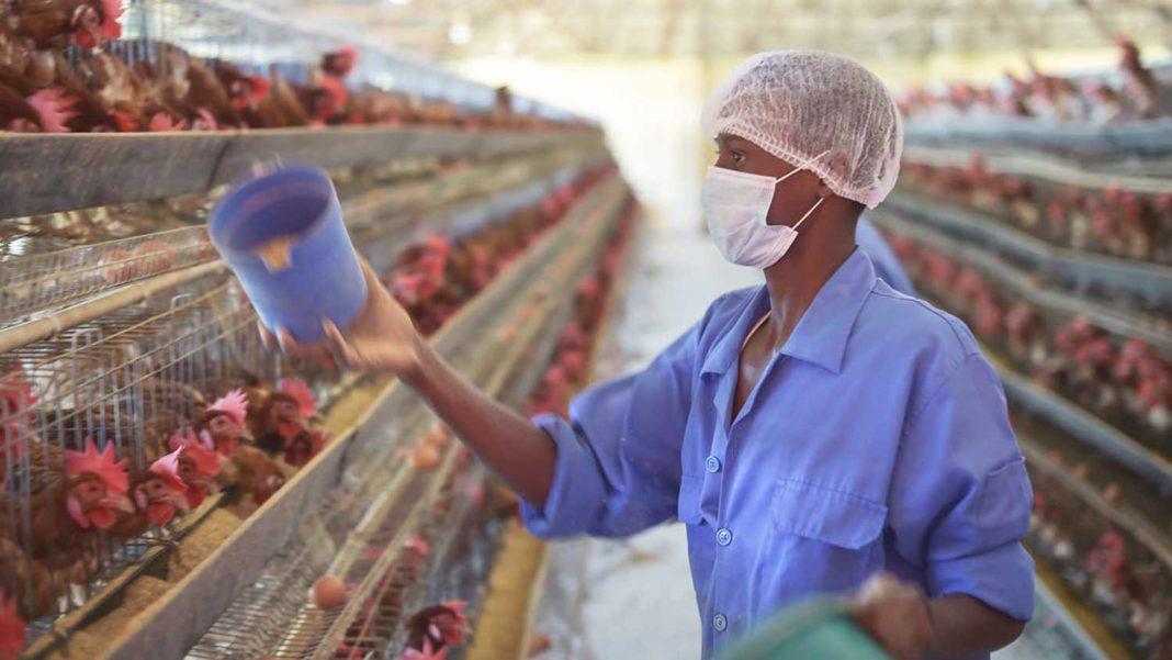 Struggling Chicken Farmers Concerned Over Demand for Vegan Meat