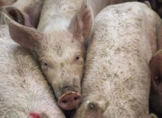 UK Urged to Ban Factory Farms to Prevent 'the Next Coronavirus'