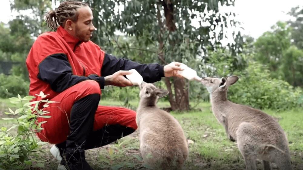 Lewis Hamilton Feeds Baby Kangaroos Displaced by Bushfires