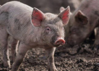 African Swine Fever Outbreak Discovered In Poland