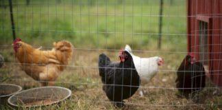 Americans are Stress Buying Backyard Chickens Amid Coronavirus
