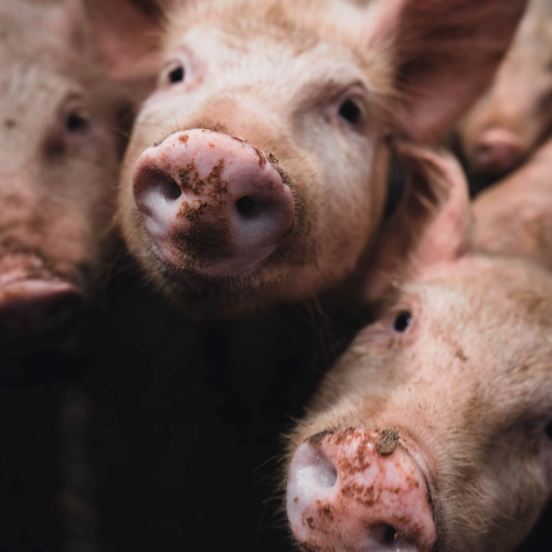 Joaquin Phoenix and Rooney Mara Expose Horrors of Factory Farming