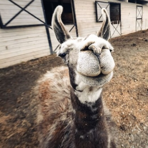 You Can (And Should!) Have Zoom Meetings With Rescued Farm Animals
