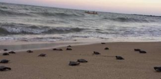 70,000 Sea Turtles Nested on Beaches Emptied By COVID-19