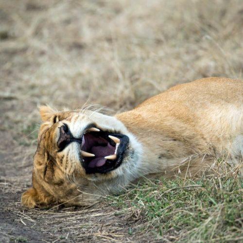 lions sleep south africa