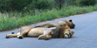 Lions Reclaim Territory, Sleeping on Roads Shut Down By Coronavirus