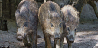 Wild Pig Families Reclaim the Streets of Turkey Amid Coronavirus Lockdown