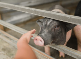 This Former Pork Farmer Rescues Pigs Now