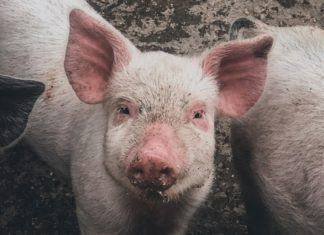 US Pork Production Drops by a Staggering 50% Amid Coronavirus Outbreak