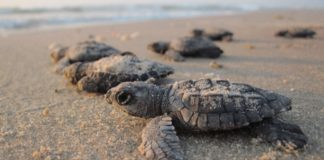 Rare Thai Turtle Nests Make Biggest Comeback In 20 Years Thanks to COVID-19