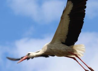 White Storks Just Hatched In the Wild for the First Time In Centuries