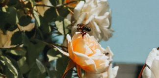 如何帮助保护蜜蜂在你的花园