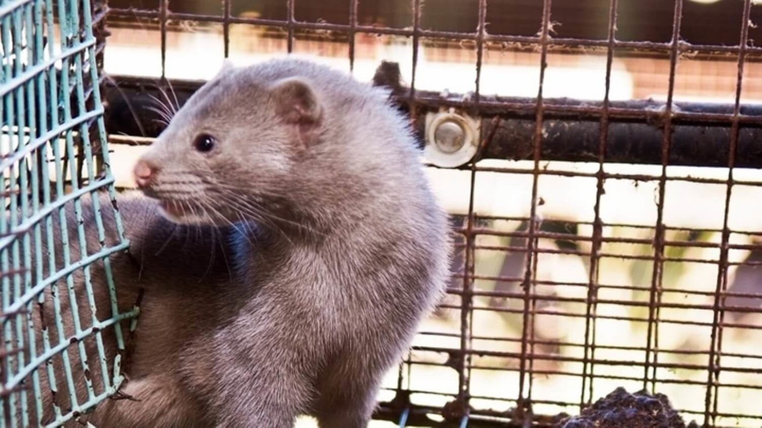 A Mink Fur Farm Is Infected With Coronavirus