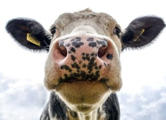 Dairy Cows Are Becoming Meat Amid COVID-19 Meat Shortage