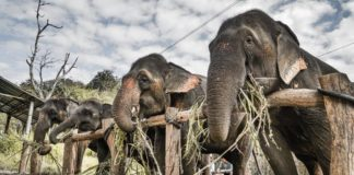 Thai Tourist Park Sets Captive Elephants Free to Focus On Conservation