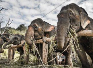 Thai Tourist Park Sets Captive Elephants Free to Focus On Conservation