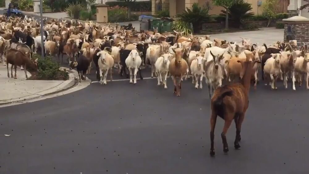 200 Goats Ignore Social Distancing Rules During Stampede