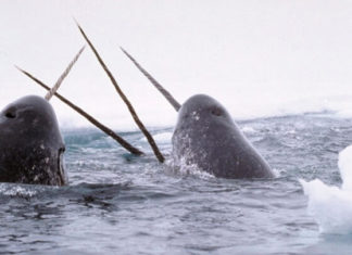 Eating Meat Is Pushing Narwhals Toward Extinction