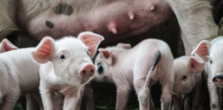 Farmers in the meat and egg industries are euthanizing and aborting animals as the coronavirus (COVID-19) causes a breakdown in the supply chain.