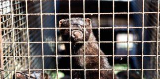 Dutch Parliament Votes to Shut Down All 128 Mink Fur Farms