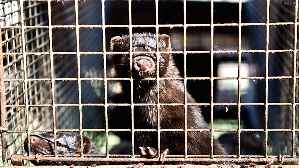 Dutch Parliament Votes to Shut Down All 128 Mink Fur Farms