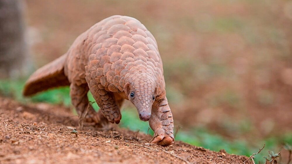China Just Removed Pangolins From Its Traditional Medicine List
