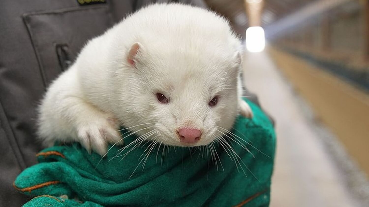 All Dutch Mink Fur Farms to Close Permanently By 2021