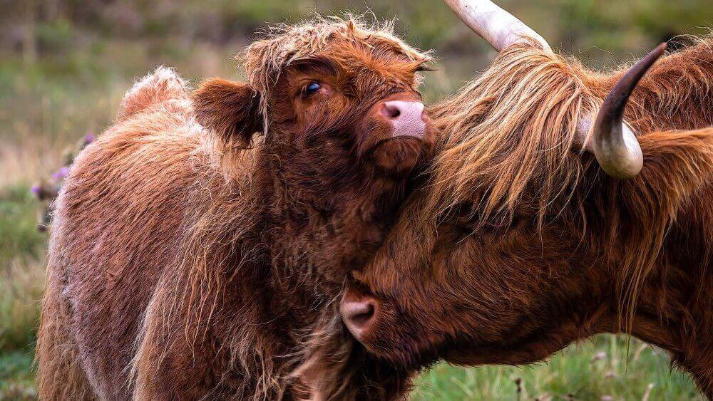 Meet Your Meat: Cows Have Best Friends