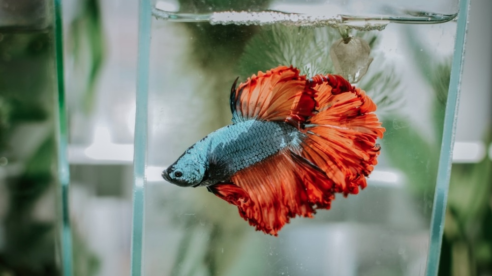 The Truth About Betta Fish Read This Before You Buy One Livekindly