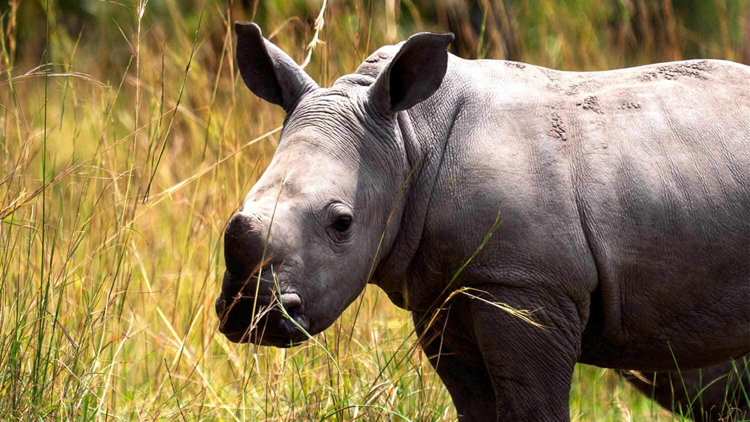 An Endangered Baby Black Rhinoceros In the Time of COVID-19
