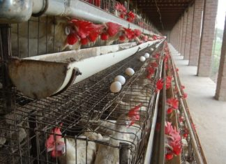 Colorado Just Banned All Cages for 6 Million Egg-Laying Chickens