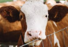 Meat and Dairy Produces More Nitrogen Than Earth Can Take