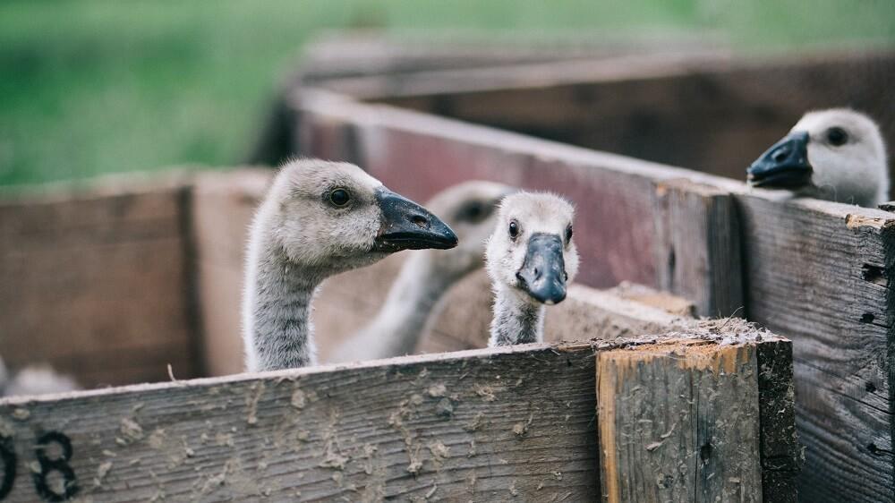 What Is Foie Gras?